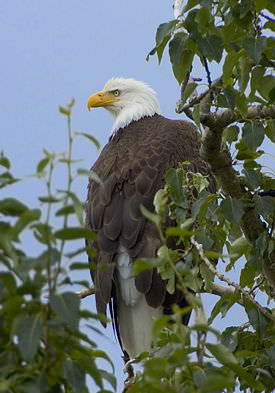 Bald Eagle On Maryland's Eastern Shore!