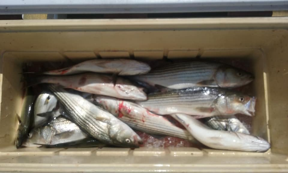Chesapeake Bay Striped Bass and some Bluefish!