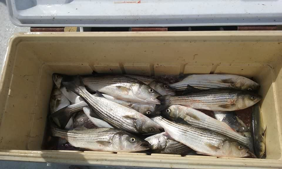 Rockfish and Bluefish Caught while Live-Lining