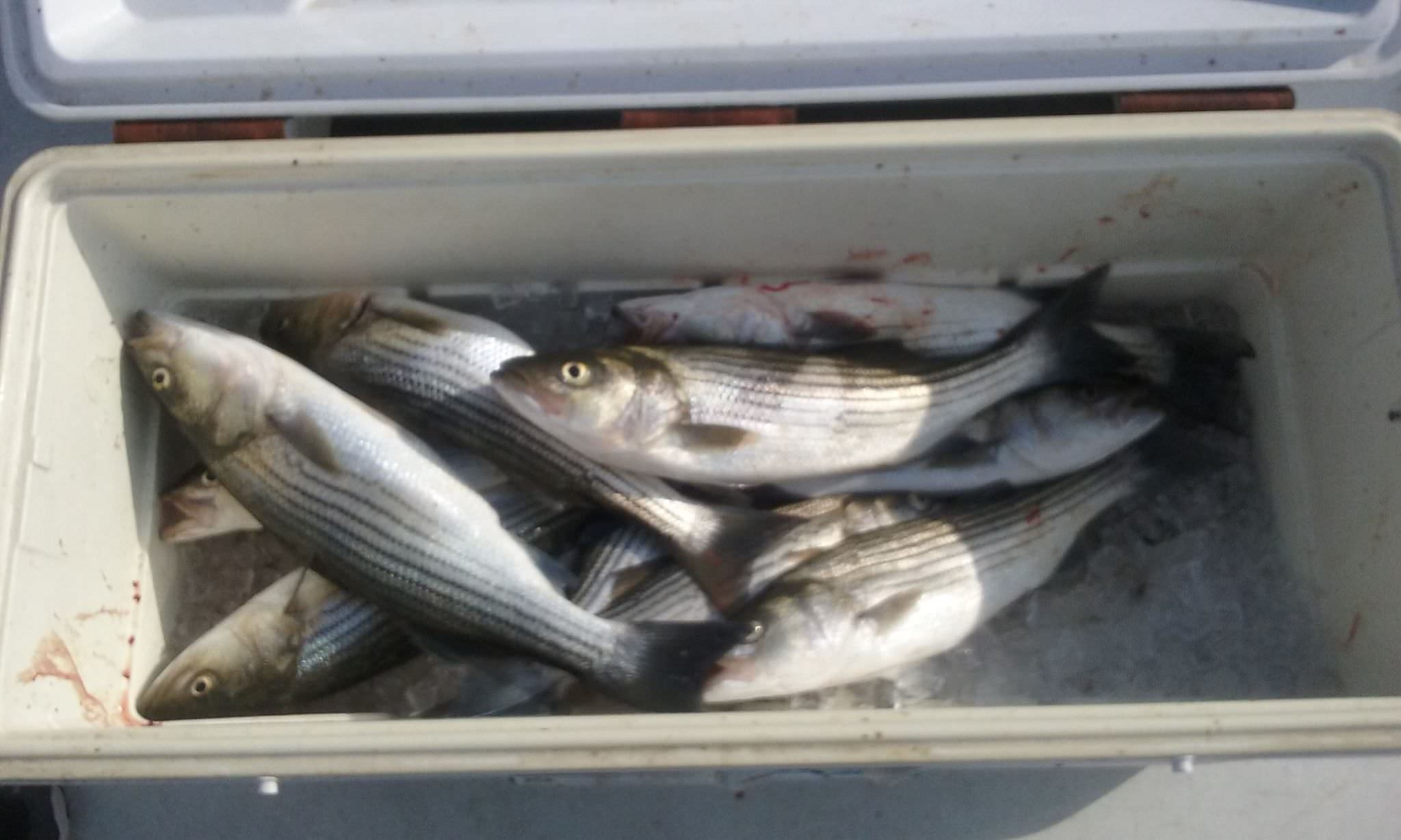 A Cooler Full Of Chesapeake Bay Rockfish Caught By Live-Lining