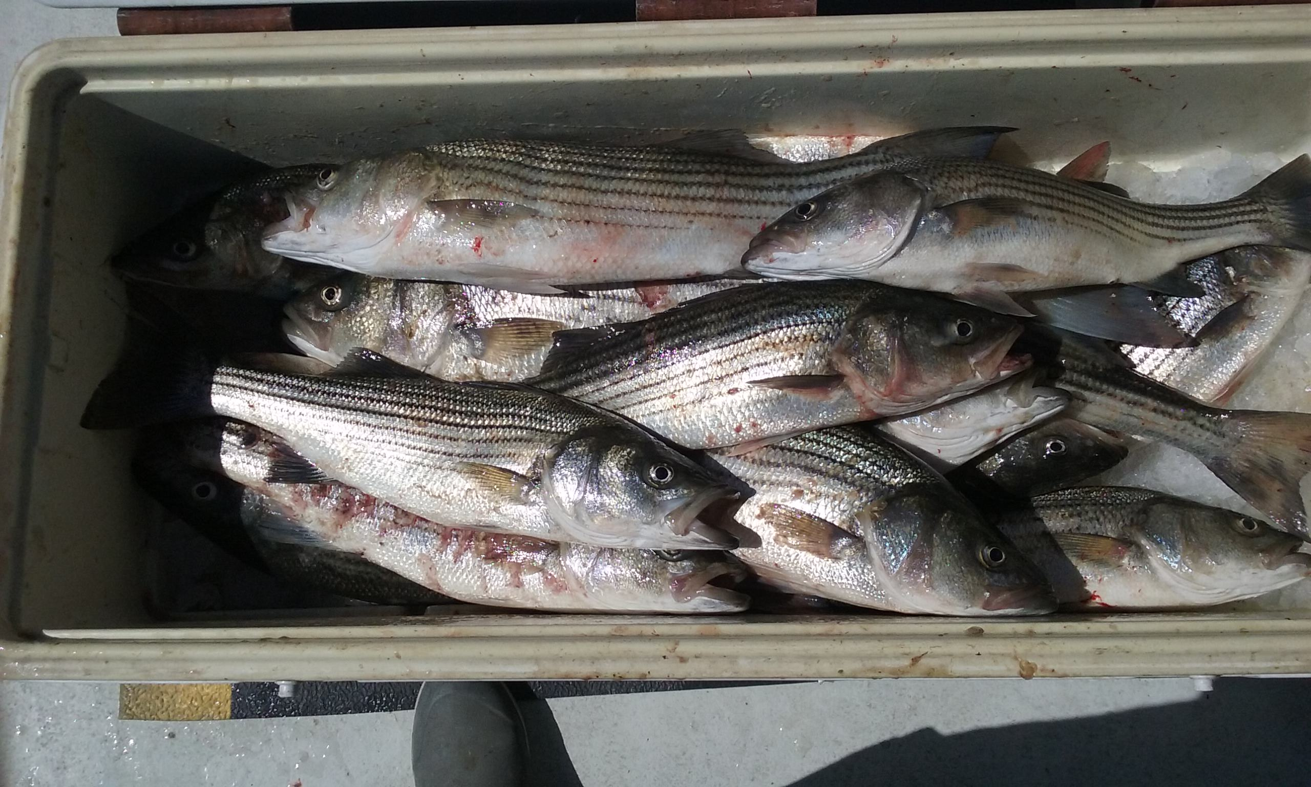More Striped Bass Caught With Light Tackle!