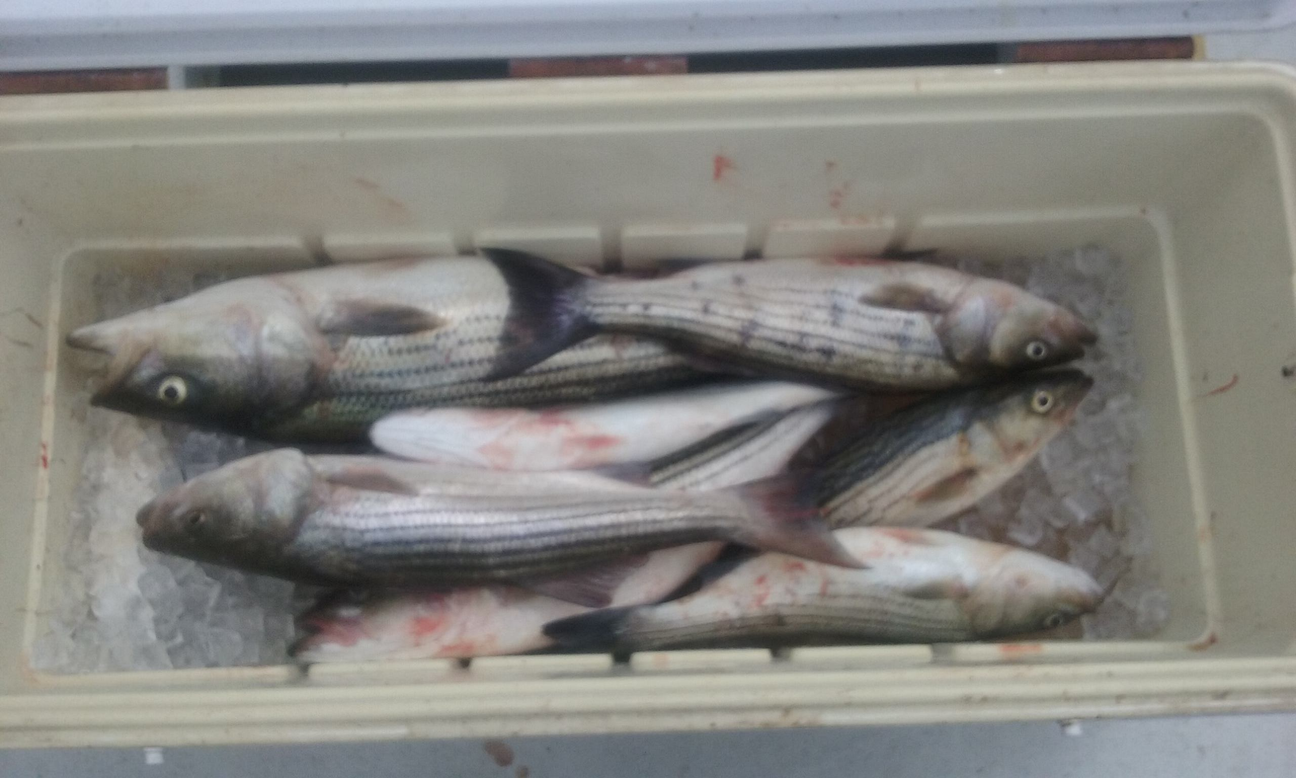 Chesapeake Bay Striped Bass from Maryland's Eastern Shore!