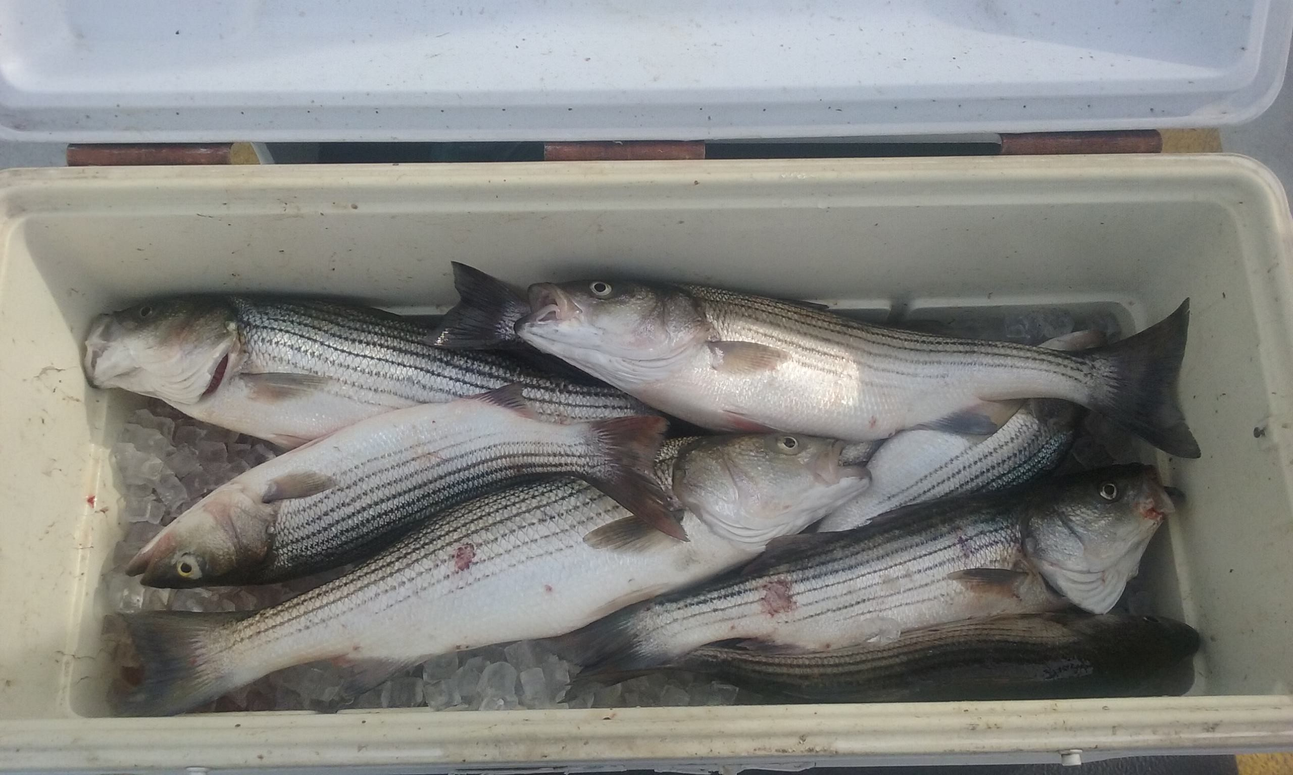 Great Striper Fishing on the Chesapeake Bay!