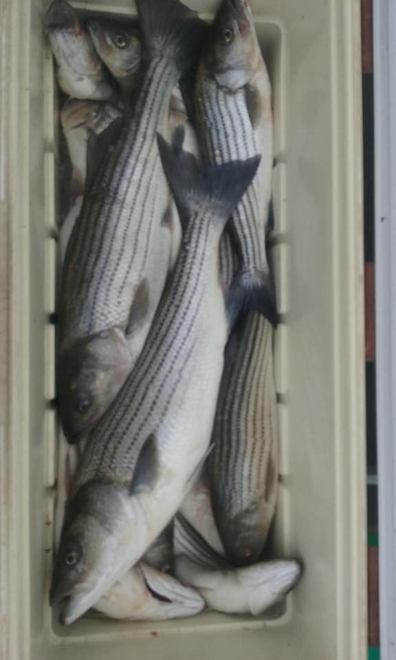 Another Cooler Full of Chesapeake Bay Striped Bass!