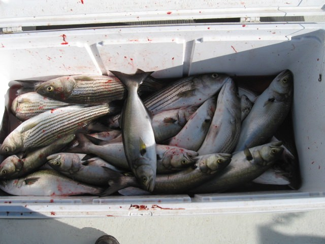 A Mix Of Striped Bass And Bluefish Caught On Live Bait - Sawyer Chesapeake Bay Fishing Charters From Maryland's Eastern Shore!