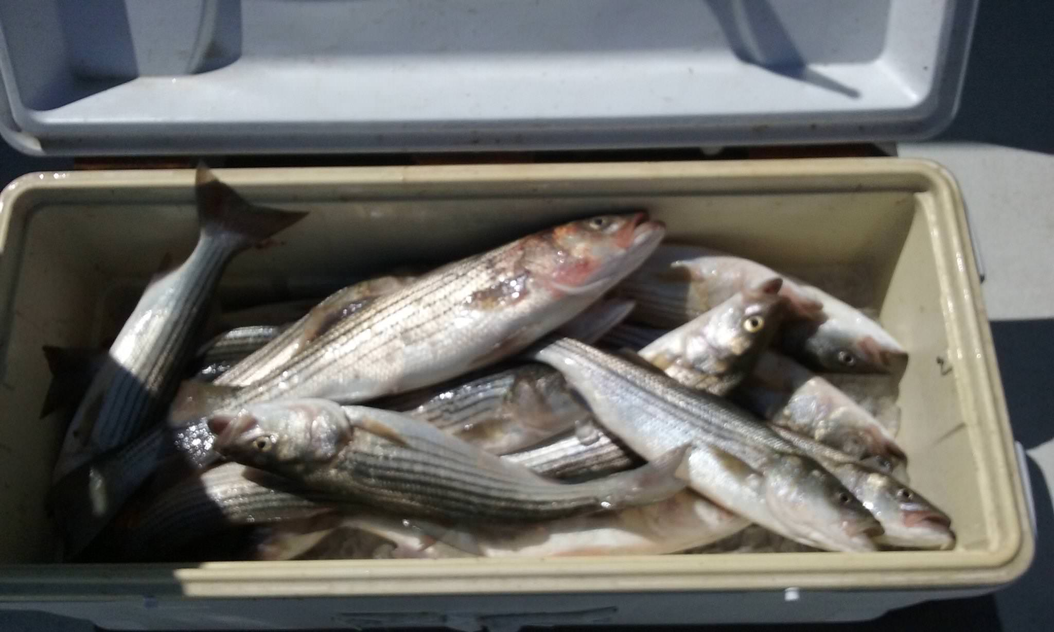 Live-Lining For Rockfish On The Chesapeake Bay!