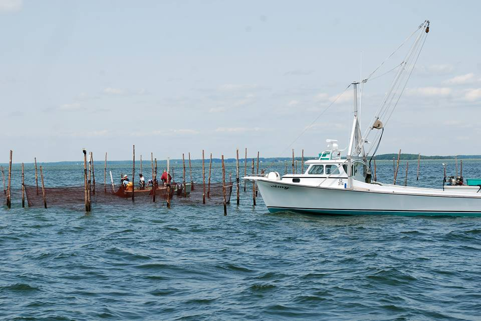 Commercial Fishermen Using Pound Nets!